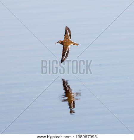 Common sandpiper (Actitis hypoleucos) in flight low over the water