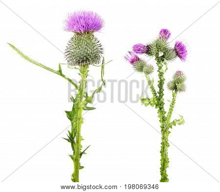 Common thistle (Cirsium vulgare) and Welted thistle (Carduus crispus) isolated on white background. Medicinal plants
