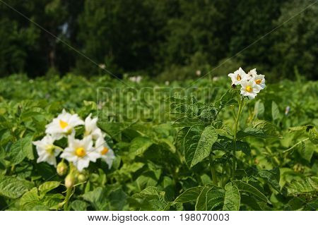 Flower potatoes, garden, plant, vegetable garden, agriculture, plant growing, grow, nature, summer, season, green, leaves