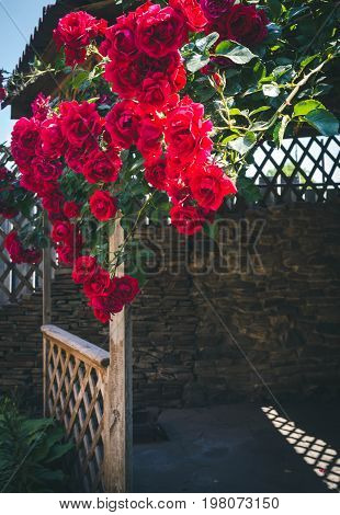Alcove in the summer garden with beautiful flowers of climbing rose. Bright sunny day. Wooden arbor in garden, surrounded by green lawn.
