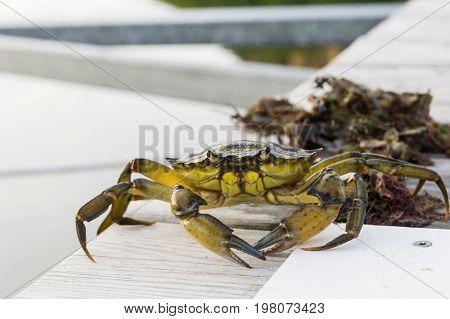European Shore Crab Fishing Released