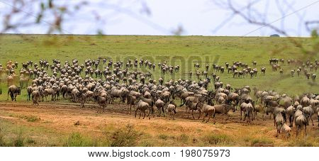 A herd of wildebeest descend onto the Serengeti Plains after jusy making the crossing over the Mara River in Kenya. The plains are teeming with wildebeest who are confused and excited having just made it across the river safely. Masai Mara Kenya Africa