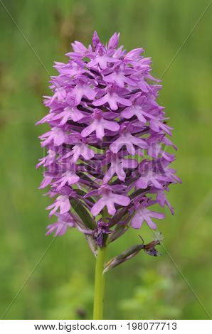 Pyramidal Orchid - Anacamptis pyramdalis  Calcareous grassland flower