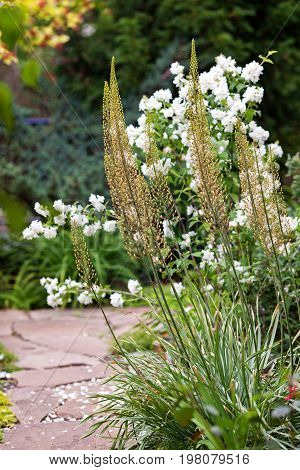 Eremurus, Foxtail Lilly, Dessert Candles In The Garden Before Blooming