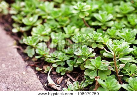 Medical Herb Sedum Acre Plant, Goldmoss Mossy Stonecrop. Perennial Plant In The Family Crassulaceae.