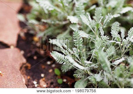 Achillea Serbiса (achillea Geratitolia) - Ornamental Ground Cover Plant