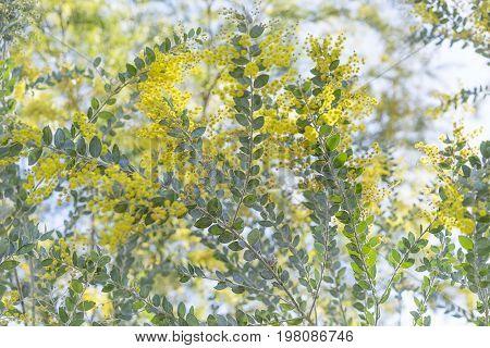 Queensland silver wattle tree in yellow fluffy flower bloom in winter in Australia