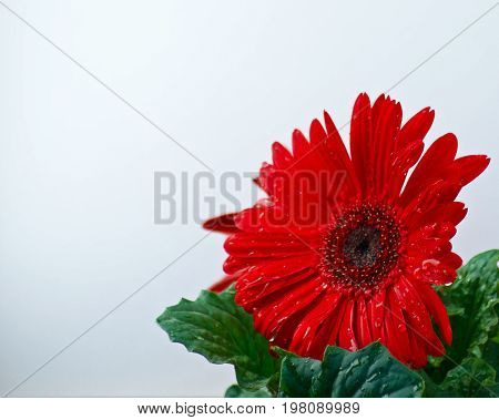 Red Gerbera daisy with dew drops early in the spring morning with a cool grey sky background