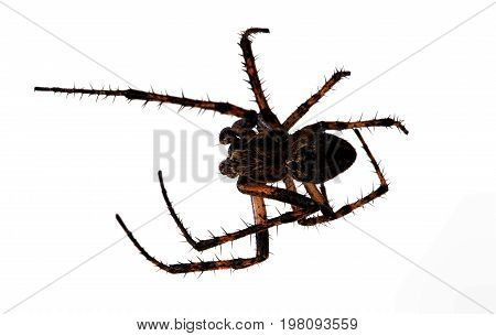 One hairy spider, isolated on white background. Macro photo with selective focus. View from above