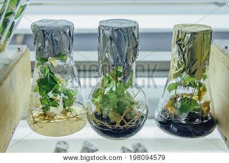 Microplants grown in flasks with nutrient medium using micropropagation technology in vitro