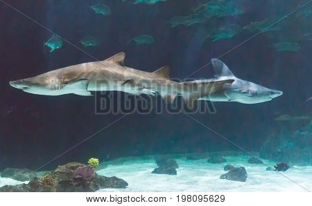 Two sharks swimming in aquarium at Point Defiance Zoo Tacoma Washington.