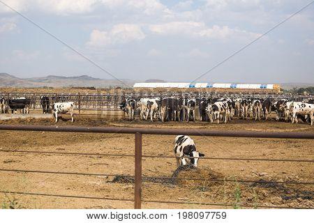 Dairy Cows Feeding In A Farm