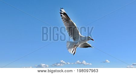 Heavenly white Australian Seagul flying in a vivid blue sky.
