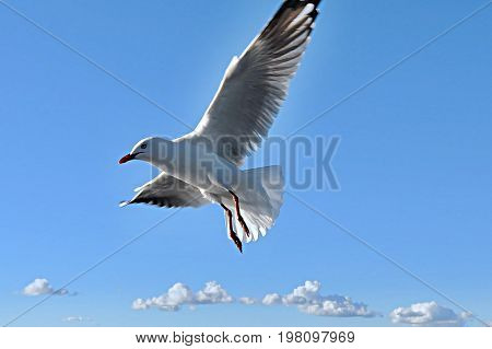 Heavenly white Australian Silver Gull flying in a vivid blue sky.