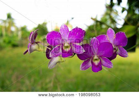 Rhynchostylis retusa beautiful flowerr orchid popular for wedding in Thailand.