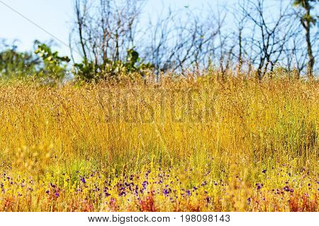 Utricularia delphinoides Thor.ex Pell. flower and field Eremochloa ciliaris at Mukdahan Nation Park Thailand