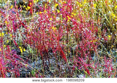 Drosera indica Linn.flower blooming outdoor in the Mukdahan Nation Park Thailand.
