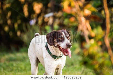 German Shorthaired Pointer With Tongue Out