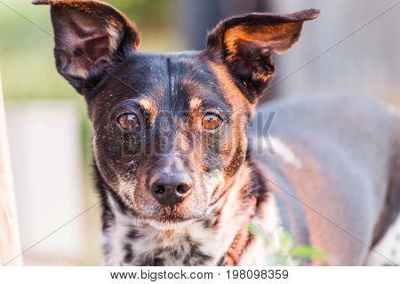 Mixed Terrier Dog