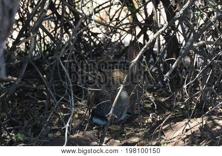 cottontail rabbit camouflaged in tree under brush