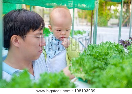 Asian Father and son harvesting organic vegetable in greenhouse of Hydroponics green vegetable garden Hydroponics method of growing plants using mineral nutrient solutions in water without soil.