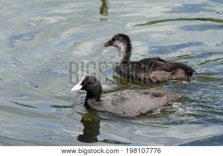 Coot ( fulica atra) with duckling over the water background