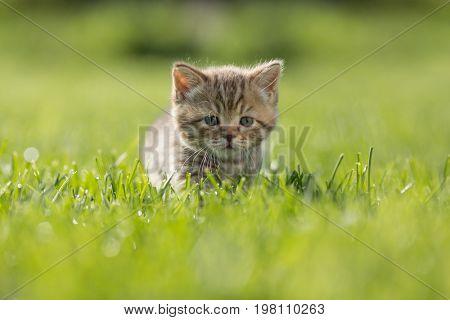 Young kitten in green grass
