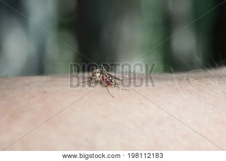 A mosquito drinking blood. Mosquito on human skin. Proboscis stuck into the skin. Dangerous insects. Blood-sucking parasites. Anopheles mosquito on human skin. Diseases of tropical latitudes.