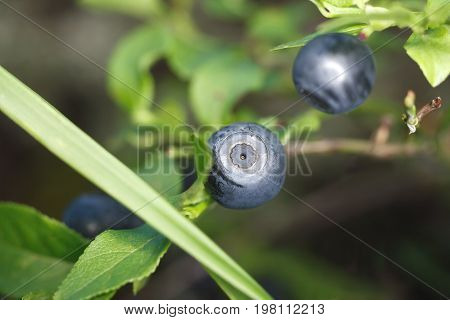 Wild blueberries on the bushes. Sweet wild berry. The natural vitamins. Healthy eating. The dark purple berry of the mid-latitudes. The gifts of nature underfoot. Delicious and healthy food.