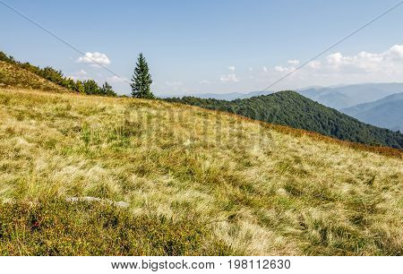 Spruce Tree On A Grassy Meadow Near The Mountain Peak
