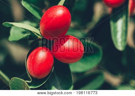 Thai Red Berry Or Bengal Currants Carissa Carandas Good Healthy Food Plant Seed