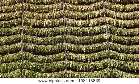 A lot of tobacco leaves stacked on strings for drying before processing.