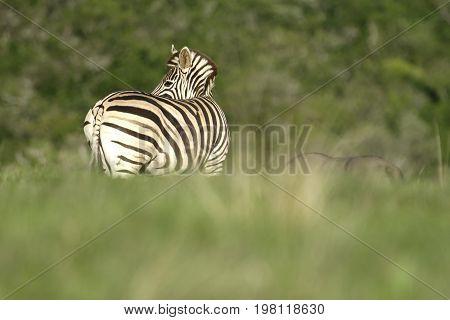 Plains Zebra, South Africa