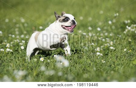 French Bulldog jumping over a green meadow with chamomiles