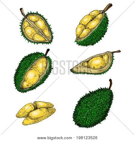 Set of vector color illustrations, icons of a durian fruit whole and peeled in an engraving style isolated on a white background. Print, template, design element