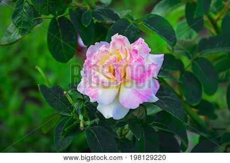 Beautiful multicolored pink, white  and yellow Gloria Dei hybrid rose flower in a garden