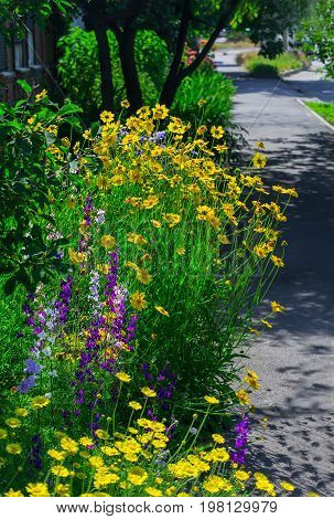 Close up of a coreopsis and delphinium. Yellow lanceleaf coreopsis (tickseed or sand) in colourful flower border with a delphinium high (Delphinium elatum L.).