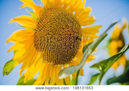 Sunflowers, Bulgaria. Field of blooming sunflowers on a background blue sky and sun