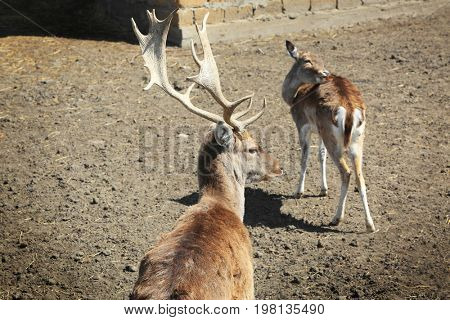 Enclosure with two cute deer in zoological garden