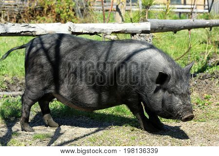 Enclosure with big cute pig on farm