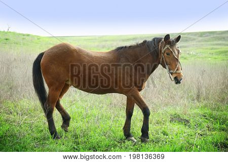 Beautiful horse gazing on field with green grass