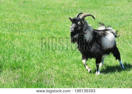 Cute goat enjoying sunny day on farm