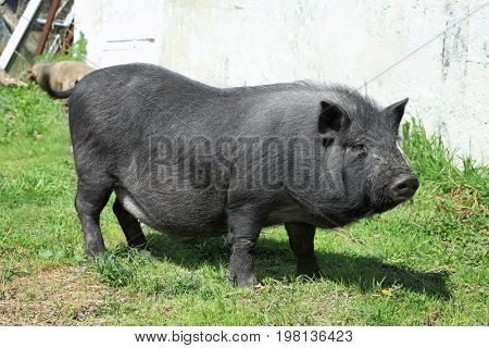 Cute pig enjoying sunny day on farm yard