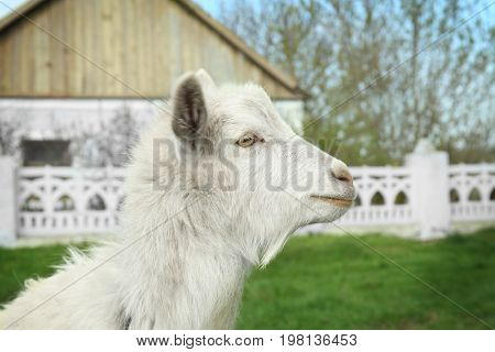 Cute goat gazing on green lawn in village