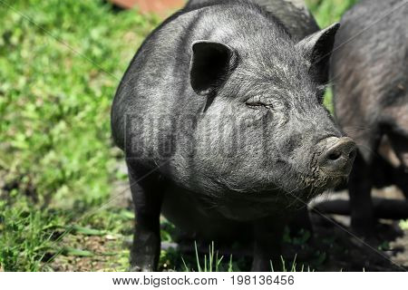 Big cute pig outdoors on sunny day