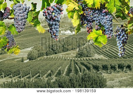 Red grapes hanging in vineyard. Grape wineland landscape landscape in Constantia valley, Cape Town, Western Cape, South Africa. Seasonal background.