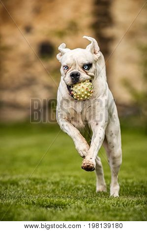 White german boxer face in czech republic in europe/captive animal/beautiful and rare pet/female dog