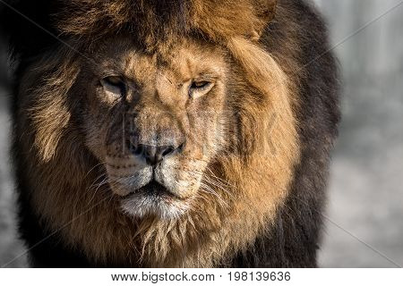 Lion male in the shadow of a big tree, wild animal, african wildlife, this is africa, lions leader, nature habitat