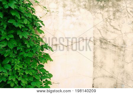 Closeup of old brick wall detail with green leaves as background