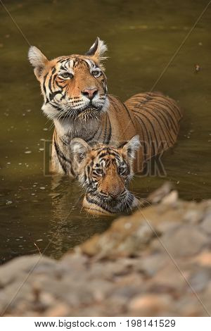 Cute tiger family bathing in the water. Tigers in the nature habitat. Wildlife scene with danger animal. Hot summer in Rajasthan, India. Dry trees with beautiful indian tiger, Panthera tigris
